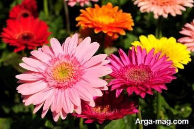 گل ژربرا و تغذیه آن