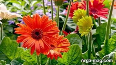 گل ژربرا و خاک مناسب