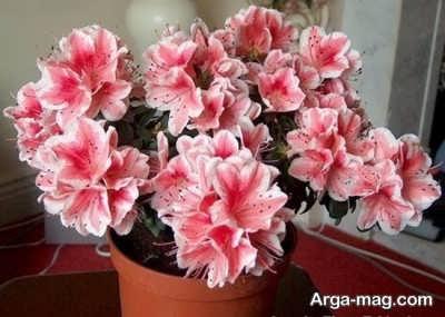 نحوه پرورش و تکثیر گل آزالیا و نکاتی برای رشد بهتر آن