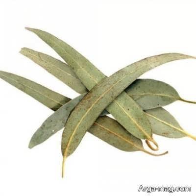 خواص درمانی گیاه اکالیپتوس
