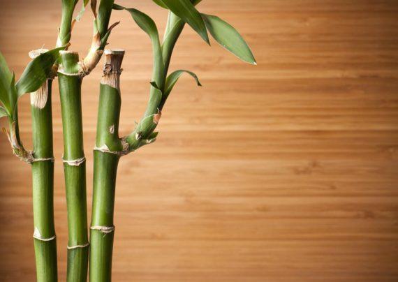 نحوه نگهداری گیاه بامبو لوتوس در گلدان