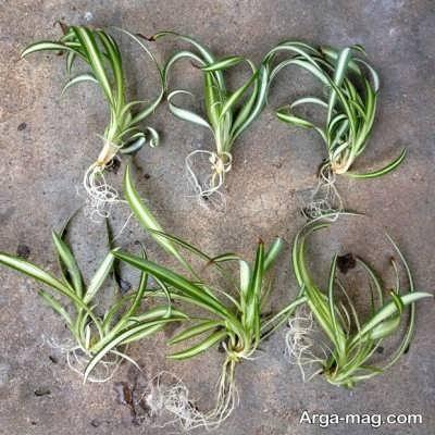 پرورش گل گندمی با تکثیر کردن