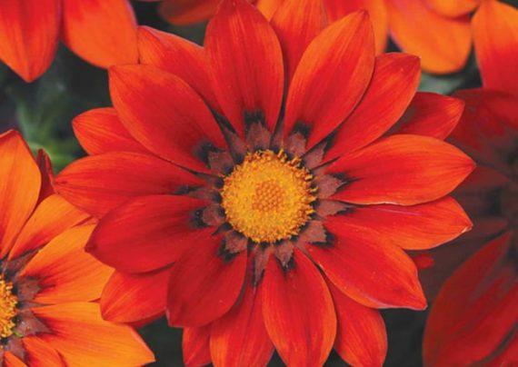 روش های مختلف پرورش گل گازانیا