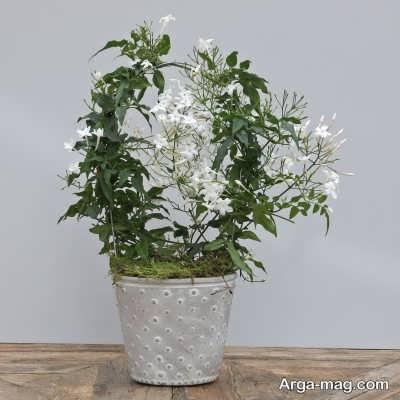 چگونگی کاشت گل یاس در خانه