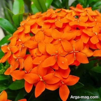 زیبایی و جذابیت گل یاسمن نارنجی