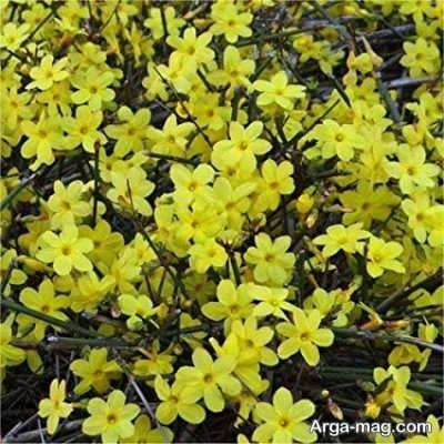 نگهداری از گل یاس زرد در برابر آسیب ها