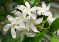 چگونگی کاشت و پرورش گل یاسمن