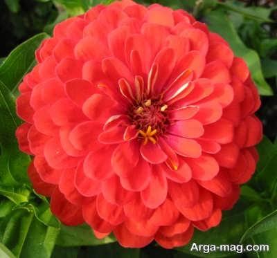 شرایط مورد نیاز برای پرورش گل آهار