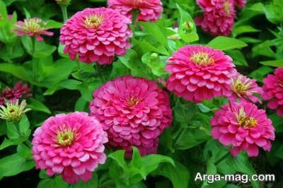 تامین نور مناسب برای پرورش گل آهار