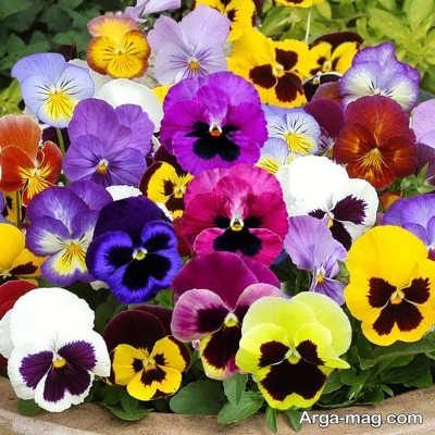 گونه های مختلف گل های اطلسی