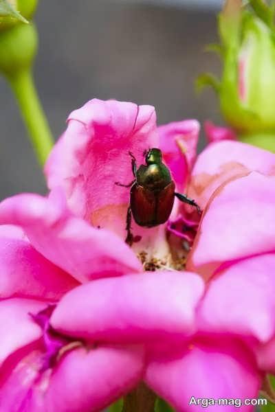 آفات و بیماری های گل اطلسی