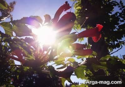 قرار دادن گل اطلسی در برابر نور خورشید