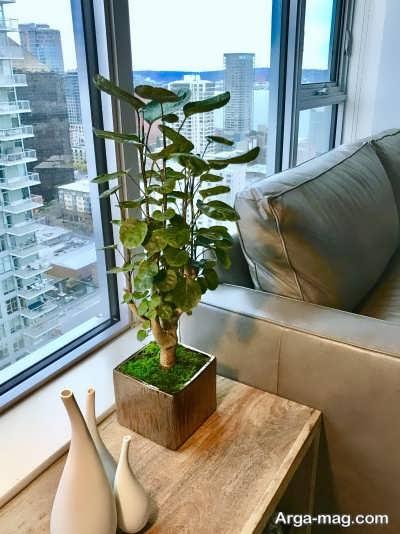پرورش دادن گیاه آرالیا در گلدان