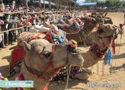 نمایشگاه شتر دوانی در کشور هند