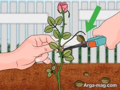 روش های مختلف تکثیر گل رز مینیاتوری