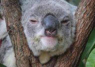 دانستنی های جالب از حیوان کوآلا