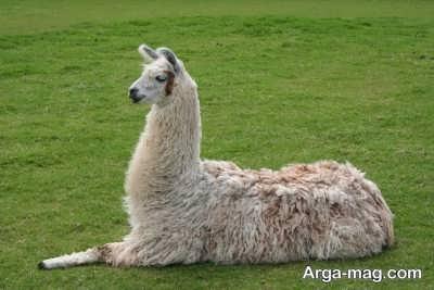 حیوان لاما اقتصادی است