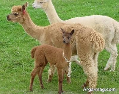 نوزاد زیبای لاما