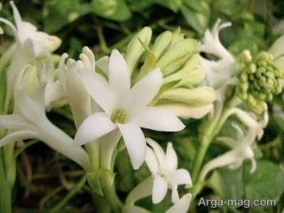 کشت و پرورش گل مریم