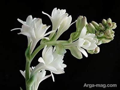 پرورش گل مریم