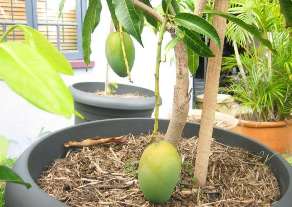 کاشت درخت انبه با استفاه از روش های مختلف