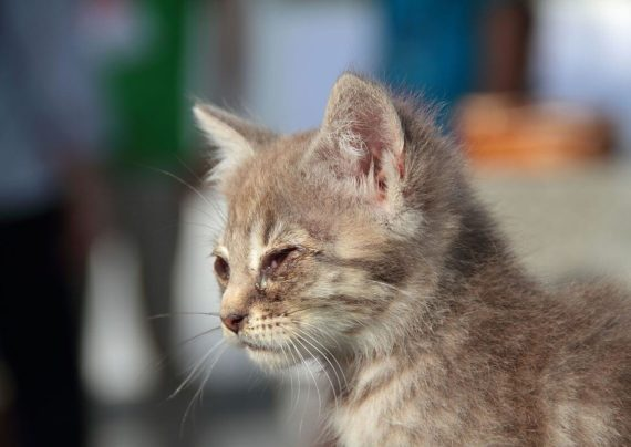 درمان عفونت چشم گربه