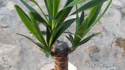 تکثیر گیاه یوکا با جدا کردن پاجوش های گیاه