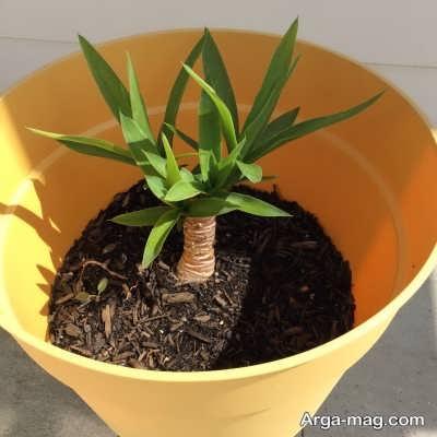 کاشت بذر برای تکثیر گیاه یوکا