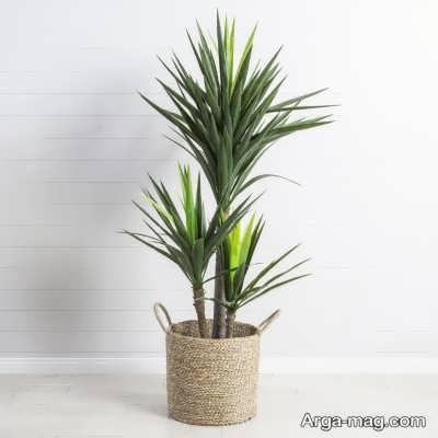 انواع مختلف گیاه یوکا و زیبایی های آن