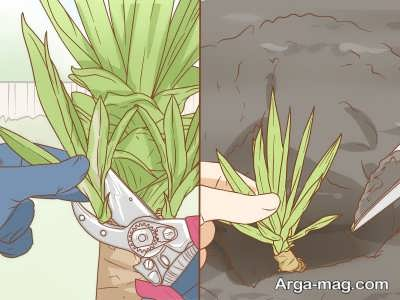 تکثیر گیاه یوکا با قلمه زدن آن