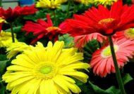 گل ژربرا یکی از گل های آپارتمانی است.