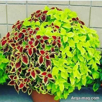روش های مختلف پرورش گل پدیلانتوس