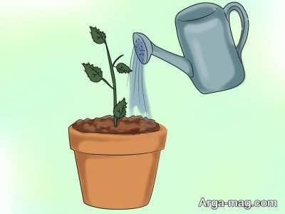 پرورش گل پدیلانتوس با آبیاری منظم