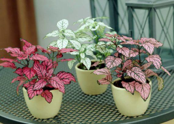 استفاده از راهکارهای متفاوت برای تکثیر گل سنگ