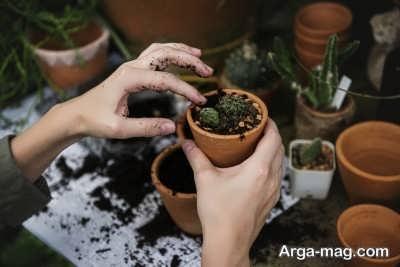 تکثیر گل سنگ از طریق کاشت بذر