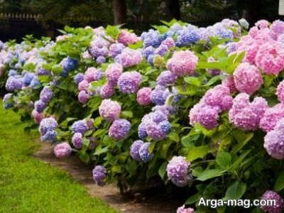 کاشت گل هورتانسیا در خانه و فضای بیرون