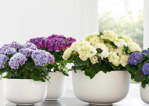 نگهداری گل هورتانسیا