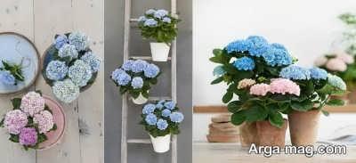 مراقبت از گل هورتانسیا