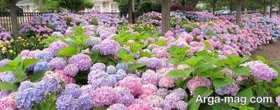 گونه های متعدد گل هورتانسیا