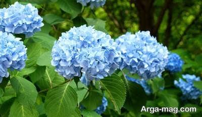 حفاظت از گل هورتانسیا