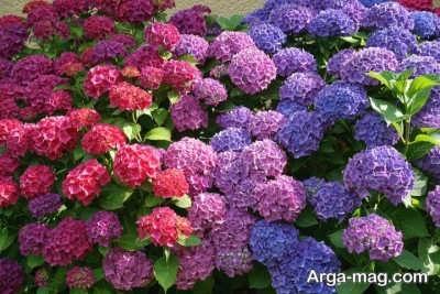 آشنایی با گل هورتانسیا