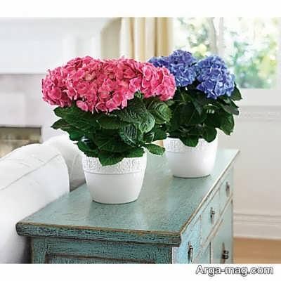 از پرورش گل هورتانسیا چه می دانید؟
