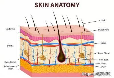 لایه های موجود در پوست