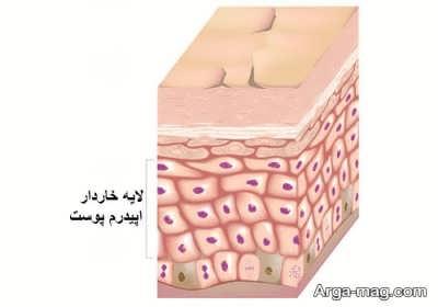 انواع لایه های پوست