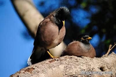 غذای مرغ مینا چیست؟ همه چیز درباره تغذیه این پرنده