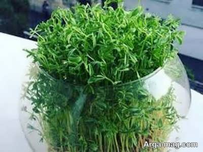 کاشت سبزه لوبیا