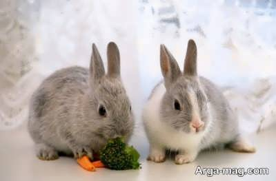 کاهو از غذای خرگوش