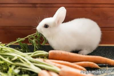عالی ترین غذای خرگوش