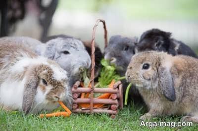 باید ها و نباید ها در غذای خرگوش