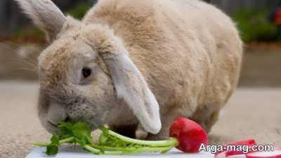 کامل ترین غذای خرگوش